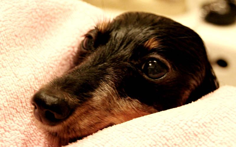 フィラリアで苦しむ愛犬の姿に、動物を助けられる獣医師を志した